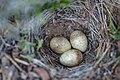 Horned lark nest and eggs (022cff60-bda3-4be7-84db-6f9823e0a011).jpg