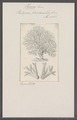 Hornera frondiculata - - Print - Iconographia Zoologica - Special Collections University of Amsterdam - UBAINV0274 093 15 0008.tif