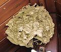 Hornisse Nest.jpg