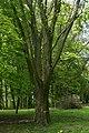 Horokhiv Volynska-Sydorukiv park-Acer saccharum Marsh.jpg