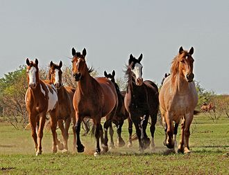 Small herd of rough stock in Texas. Horses abreast IMG 5342.jpg