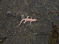 House Gecko (4627383874).jpg
