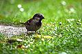 House sparrow (E) (9120154522).jpg
