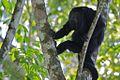 Howler Monkey (5295739082).jpg