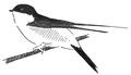 Huiszwaluw Delichon urbica Jos Zwarts 10.tif