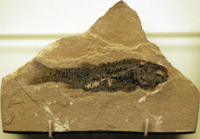 Hulettia Fossil, from NewMexicoMuseum.png