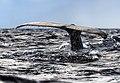 Humpback Whale - Flickr - Christopher.Michel.jpg