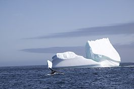 Humpback and iceberg Labrador Sea.jpg