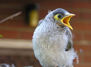 Noisy miner - Fledglings utter 85 to 100 'chip' calls in a minute.