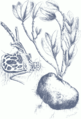 Hydnophytum formicarum 002.png