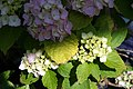 Hydrangea macrophylla Sun Goddess 1zz.jpg