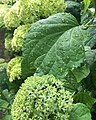 Hydrangea macrophylla blad nat.jpg