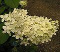 Hydrangea paniculata 04 ies.jpg