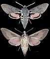 Hyles vespertilio MHNT CUT 2010 0 228 male Pelvoux.jpg
