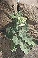 Hyoscyamus albus-2110.jpg