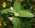 Hypericum moserianum 2015-07-15 4408.JPG