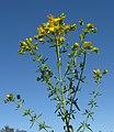 Hypericum perforatum flowerhead1 (14445843459).jpg