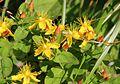 Hypericum senanense subsp. senanense (Mount Ontake).JPG