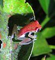 Hypsiboas puncatus - Flickr - Dick Culbert.jpg