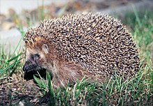 Следом за ним в Hoary Hedgehog 5.04 появился седой ежик.