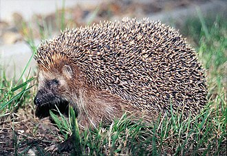 Hedgehog - European hedgehog