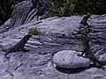 Iguana, Group Yucatan, Mexico.JPG