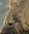 Iguana VIII.jpg