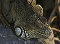 Iguana iguana (head).jpg