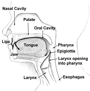 Tongue shape - Human vocal tract