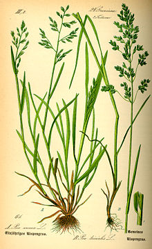 Illustration Poa trivialis0.jpg