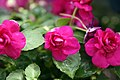 Impatiens walleriana Pixie Double Purple 0zz.jpg