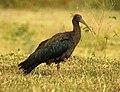 Indian Black Ibis Pseudibis papillosa by Dr. Raju Kasambe DSCN2445 (24).jpg