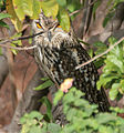 Indian Eagle Owl (Bubo bengalensis) in Bhongir, AP W IMG 3121.jpg