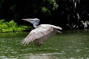 Indian Grey Pelican.jpg