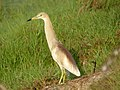 Indian Pond Heron, Chennai, India 2.jpg