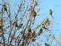Indian Ringneck Parakeets in Bakersfield, California.JPG