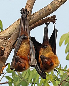 Indian flying foxes (Pteropus giganteus giganteus).jpg