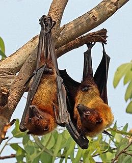 Indian flying fox species of mammal