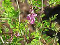 Indigofera himalayense Silk Road - Flickr - peganum (1).jpg