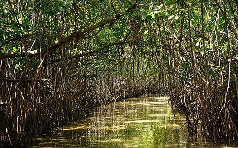 Inside Pichavaram Mangrove Forest - cropped.jpg