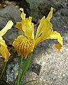 Iris innominata 2.jpg