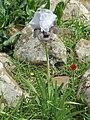 Iris waterfall3281.JPG
