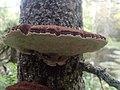 Ischnoderma benzoinum 40318964.jpg
