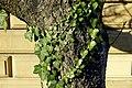 Ivy - Beacon Hill - Boston, MA - DSC02282.jpg