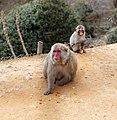 Iwatayama Monkey Park, Kyoto 3-25 (26489230205).jpg