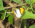 Ixias marianne– White Orange-tip 04.jpg