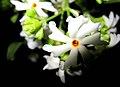JASMINE CORAL FLOWER.jpg