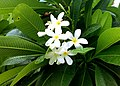JNU White Champa Flowers.jpg