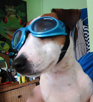 Doggles - A Jack Russell Terrier wearing a pair of blue Doggles.