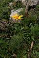 Jacobaea abrotanifolia - Zgornja Krma.jpg